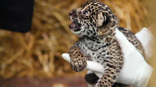 The Family Who Bought A Zoo: Cute Baby Jaguar Arrives - Video