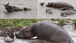 ANIMAL COMPASSION!! Hippo save a Wildebeest from a crocodile!!! - Video