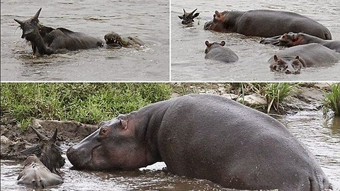 ANIMAL COMPASSION!! Hippo save a Wildebeest from a crocodile!!!