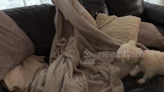 Cute dog gets lost in tangled blanket