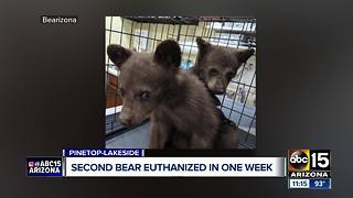 Bear euthanized, cubs rescued and headed to Bearizona - Video