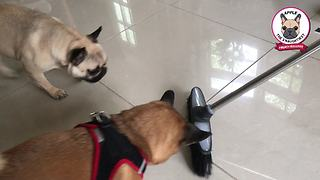 French Bulldog has legendary standoff with broom - Video