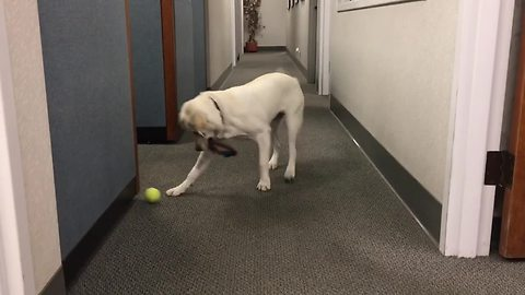 Confused Dog Won't Put Down Chew Toy To Pick Up Tennis Ball