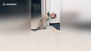 Curious Cat Attempts To Fight 3D Picture Of Another Feline