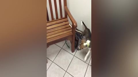 Hilarious Dog Chases A Loose End Of His Leash