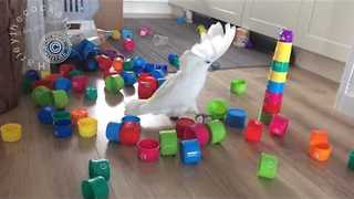 Puny Plastic Cups Are No Match For Mighty Cockatoo - Video