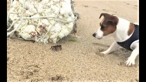 Jack Russell sniffs crab, inevitably gets pinched