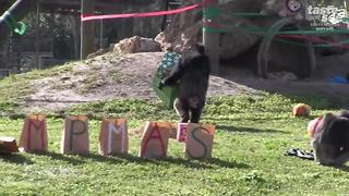 Santa brings chimps gifts at Lion Country Safari - Video