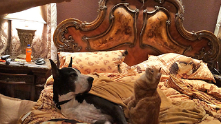 Patient Great Dane tolerates cat on catnip - Video