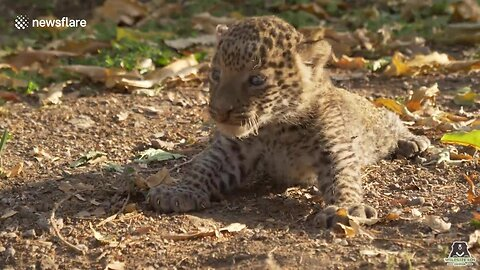 Lost Baby Leopards Rescued And Reunited With Their Moms In One Day