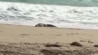 Crocodile Spotted on Beach in Hollywood, Florida - Video