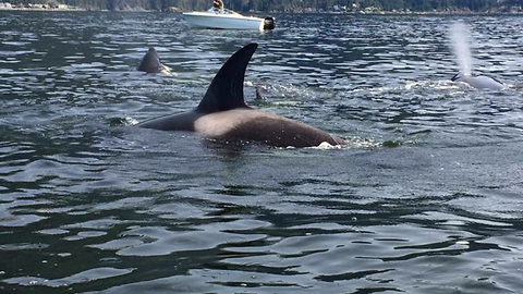 Terrifying moment two small boats are surrounded by huge pod of killer whales as they hunt for prey