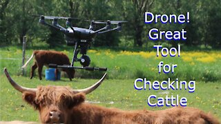 Drone great tool for checking Highland Cattle on pasture
