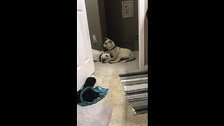 Foster puppy totally gives Labrador the cold shoulder