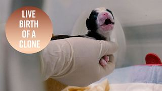 Watch the moment a cloned puppy is born - Video