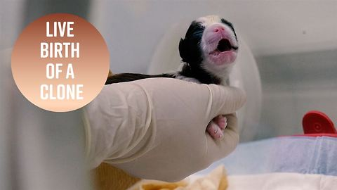 Watch the moment a cloned puppy is born