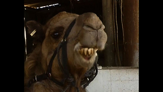 Camels Wear Vests - Video