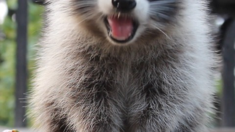 Fruity snack for friendly raccoon