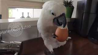 Cockatoo Enjoys a Hard Boiled Egg for Lunch