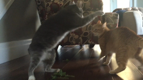 Battle royale between two cats high on wild catnip