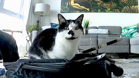 Cat sees owner's suitcase, gets vocally sad about it