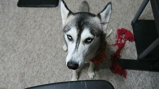 Husky not a fan of Daylight Saving Time - Video