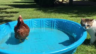 Shocked kitty can't believe there's a chicken in the doggy pool