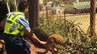 Rescued Police Kangaroo Cuejo Preps for Release - Video