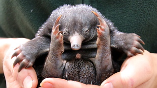 Tiny Echidna Babies Open Their Eyes: ZooBorns - Video