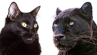 10 Ways Domestic Cats and Big Cats Are Similar - Video