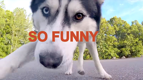 Cute Siberian Husky Chases Remote Control Car - GoPro View From Car