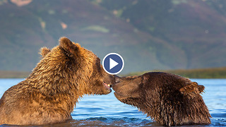 Un-bear-ably Cute Pair Of Loved-Up Bears Playing In The Water - Video