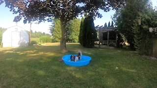 Dog escapes the heat by taking a quick pool time out