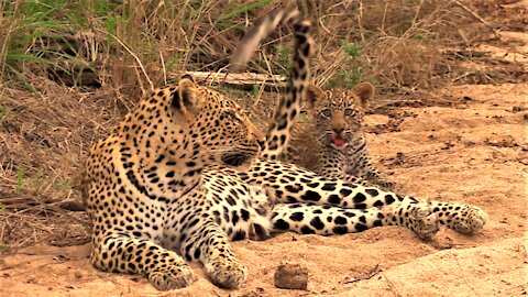 Cute leopard cub loves to play with his mother's tail
