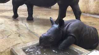 Saint Louis Zoo's Baby Rhino Takes First Bath - Video