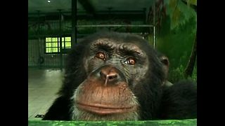 Chimpanzee Quits Smoking - Video