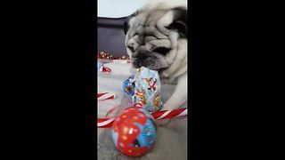 Pug struggle to open Christmas present - Video