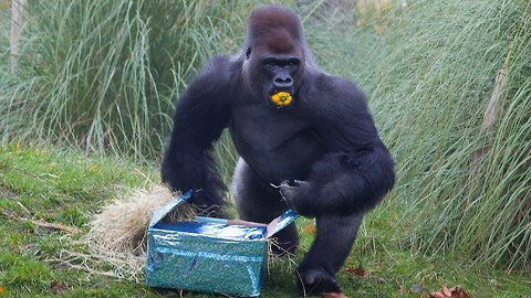 Silverback Gorilla Celebrates Birthday At London Zoo