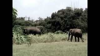 Eloping Elephants - Video