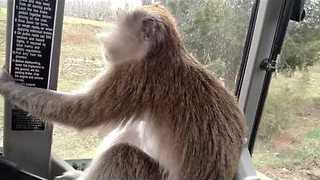 Pet Monkey Gets a Tour of the Farm on a Tractor - Video