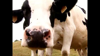 Cow Stocks - Video