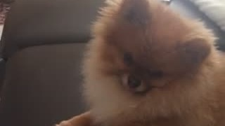 Dog's priceless reaction to 'Hello' by Adele - Video