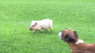 Cute little pig thinks he's a dog - Video