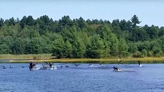 Siberian Husky Chase Geese in deep  - Video