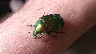 The green rose chafer - Video