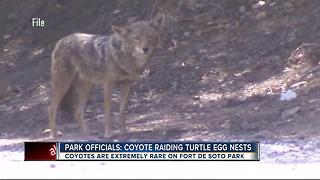 Coyote raiding sea turtle eggs nests - Video
