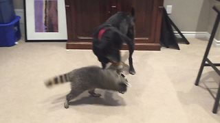 Dog and raccoon play tug-of-war together