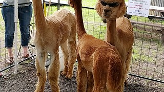 Coolest alpaca ever shows off trendy sunglasses