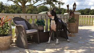 Great Dane relaxes sitting like a person on a patio chair - Video