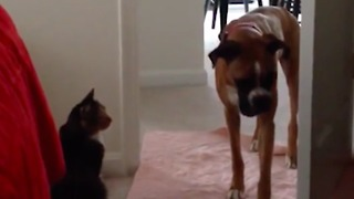 These big dogs are absolutely terrified of tiny cats